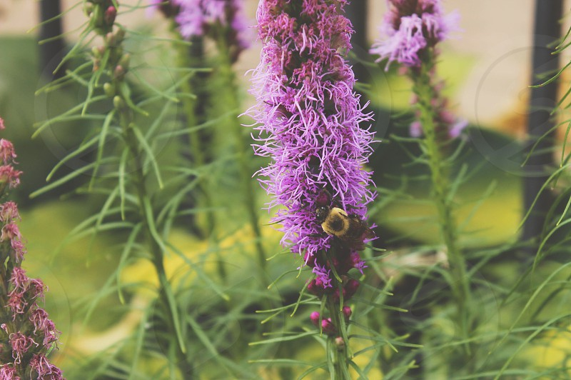 Bee bumblebee flower pollinating summer country nature insect outdoors Mother Nature  photo
