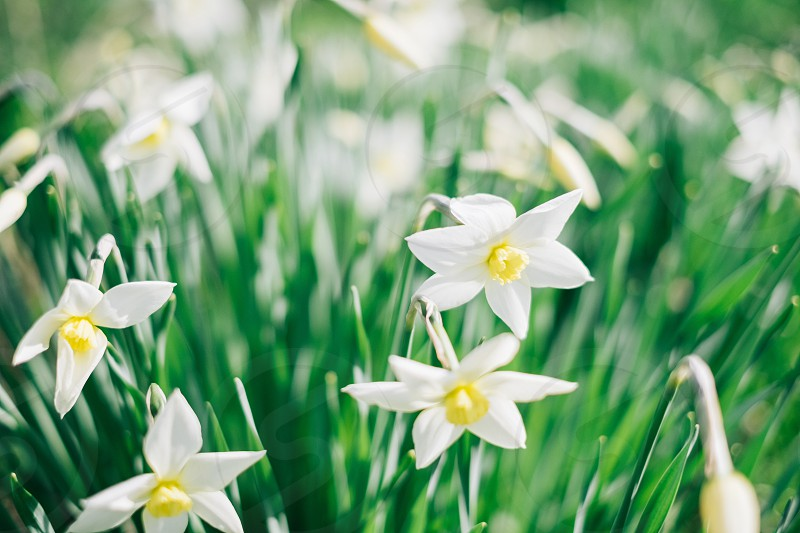 white daffodil flowers photo