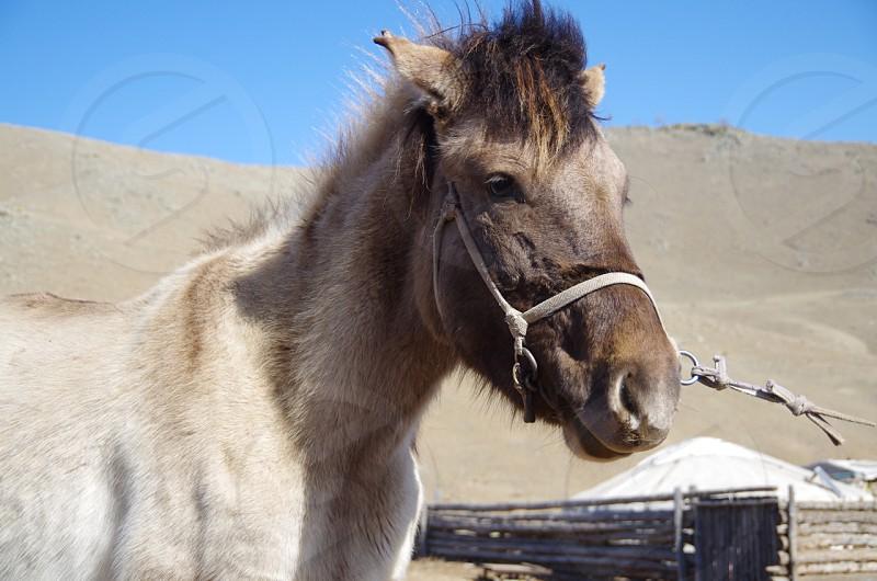 Mongolia horse photo