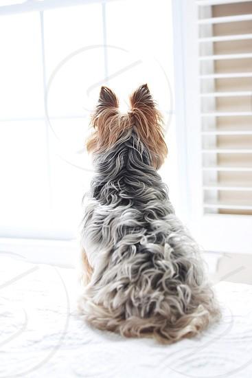 Yorkshire terrier Yorker little dog small dog lap dog silky terrier hair dog hair photo