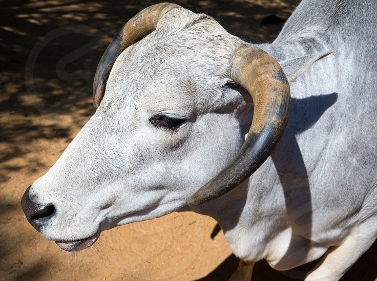 head and horns white bull portrait side view photo