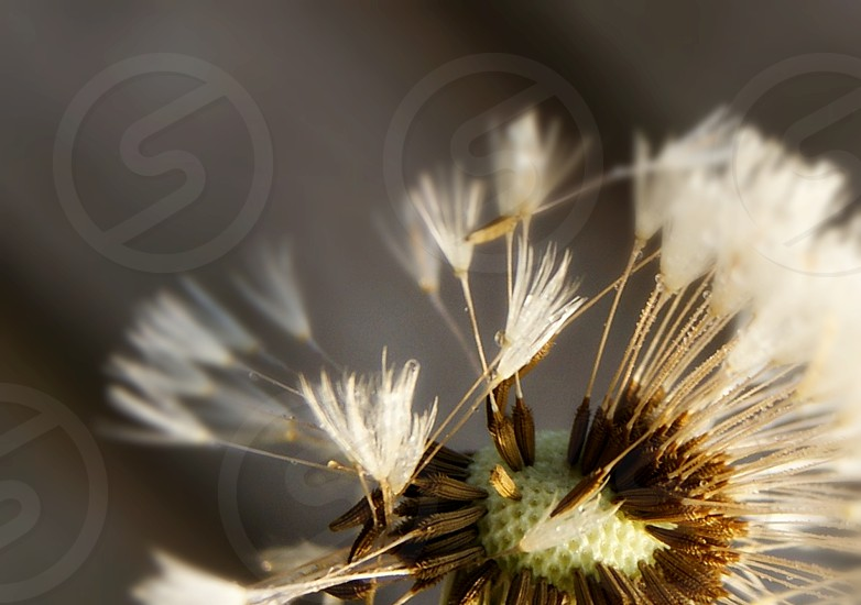 Seeds of a dandelion. photo