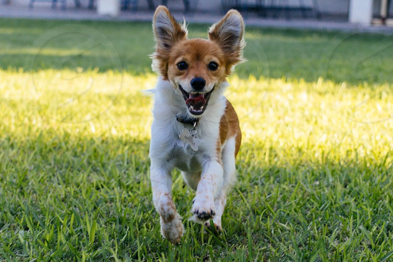 brown and white dog running on green field photo