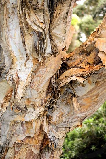 Bark peeling like paper from the tree photo