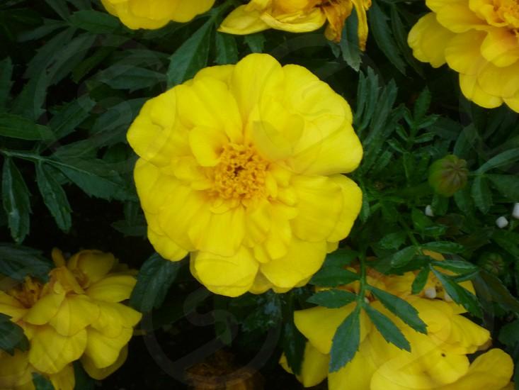 Yellow fllower photo