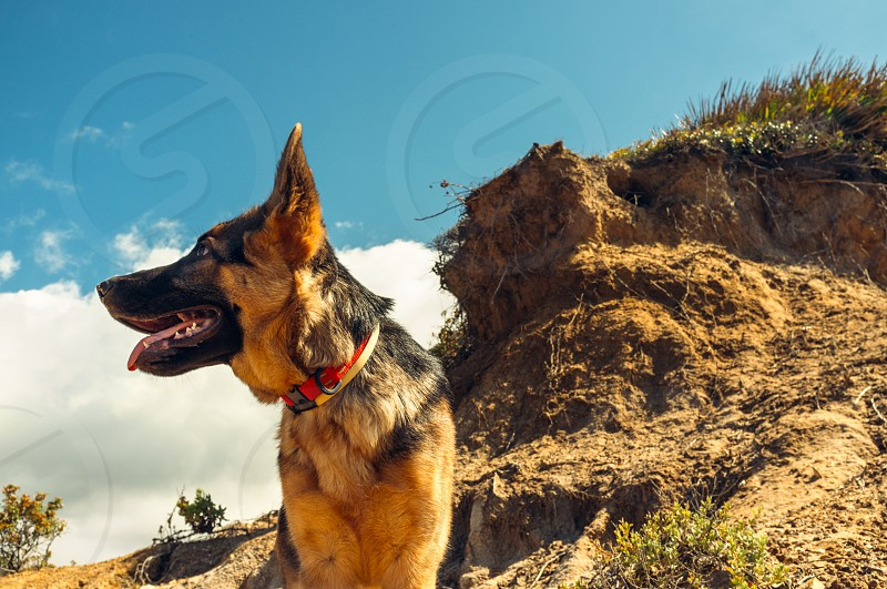 Alsatian Dog at the Cliff Looking Into Distance. Close up Adult Alsatian Dog Looking Into the Distance Against Cliff and Sky on a Very Sunny Climate. photo