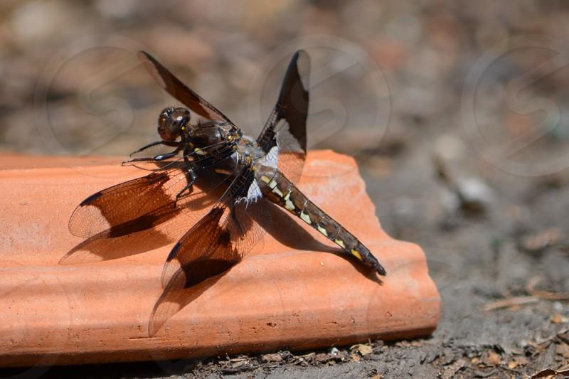 Dragonfly on broken terracotta pot photo
