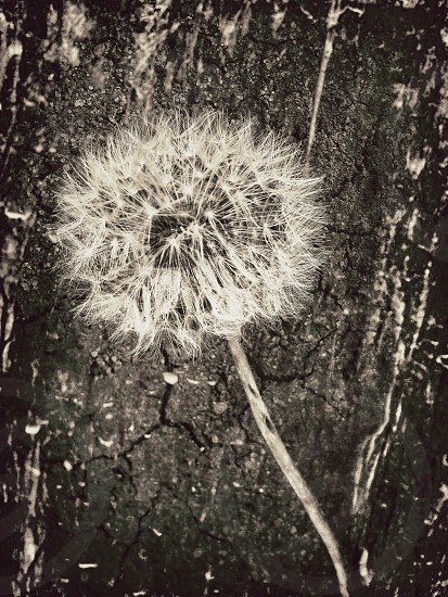 dandelion nature plant wish sepia texture art weed photo