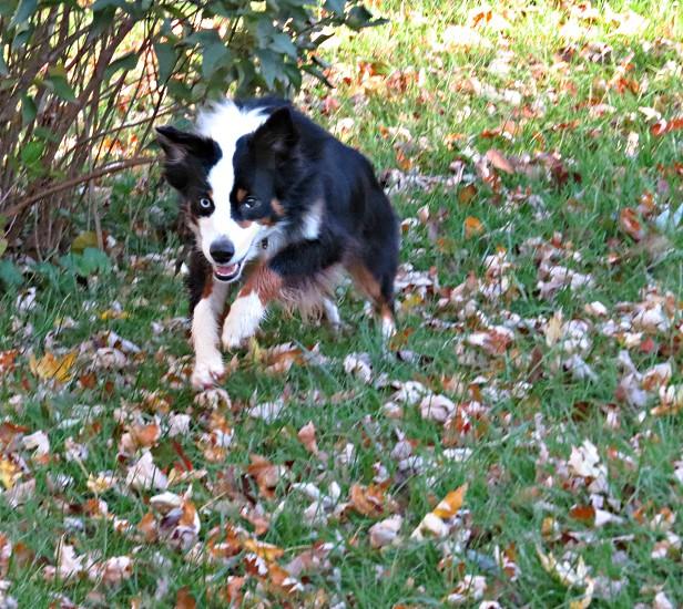 Dog run play friend Australian Shepherd puppy photo