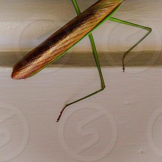 brown and green praying mantis photo