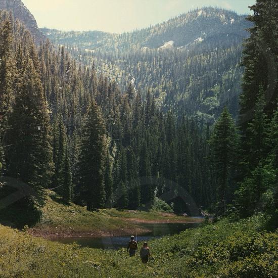 tall pine trees photo