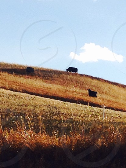 calves on rolling hills photo