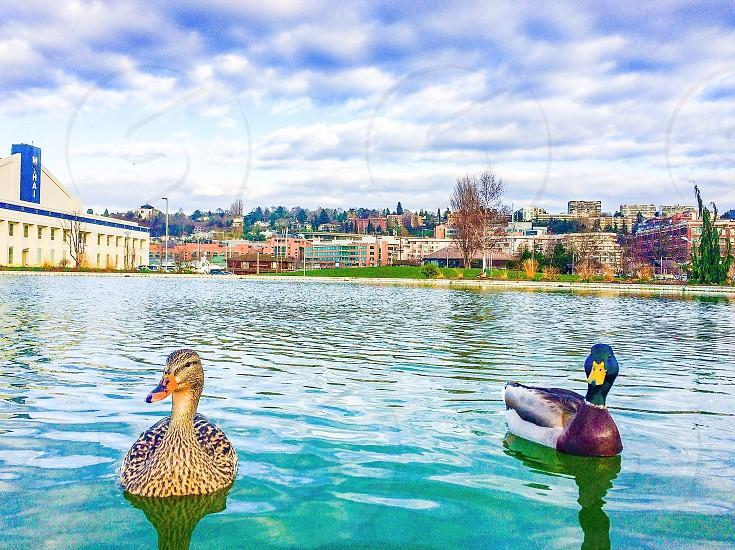 Seattle Washington South Lake Union Ducks  photo