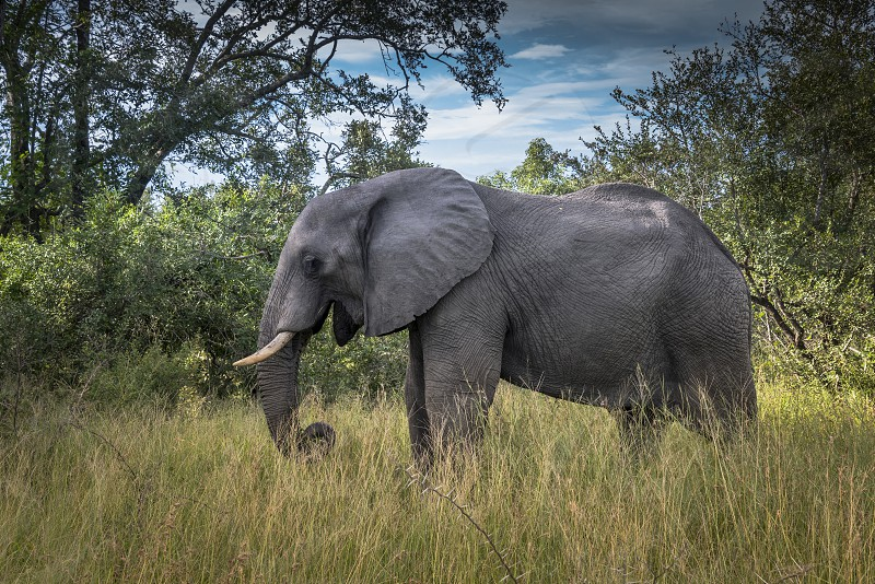 wild elephant animal in kruger national park south africa photo
