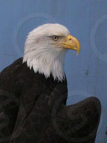 Bald Eagle Alaska Juneau sanctuary photo