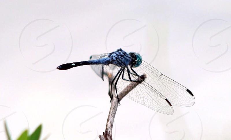 dragonfly macro photography  photo