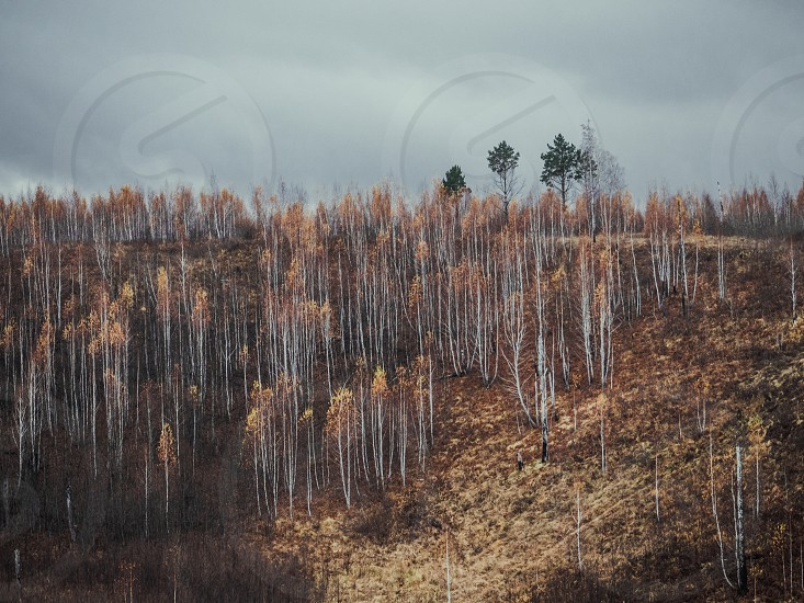 autumn fall birch birch cloud cloudy misty color color loneliness rain rain Russia grief sadness Siberia slope slope slope top tree valley photo