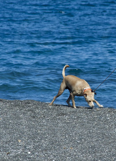 Reluctant pup on a beach in Santorini... photo