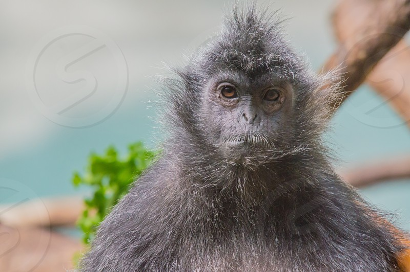 Monkey silvered leaf zoo character face portrait mustache pose sit photo