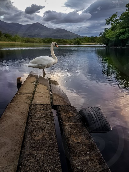 white swan standing on wooden dock photo