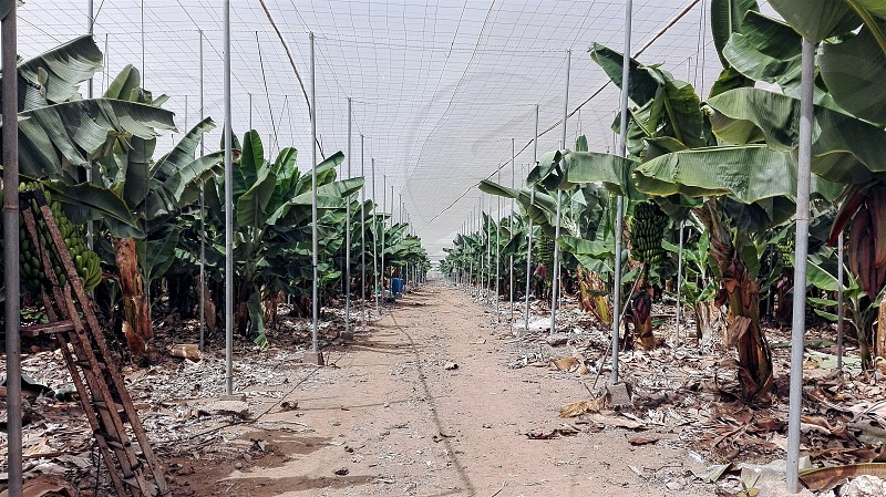 Soo this is what a banana plantation looks like :) photo