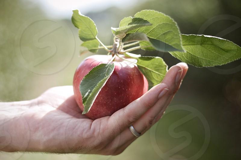 apple orchard fruit autumn fall hand ring grow harvest pick photo