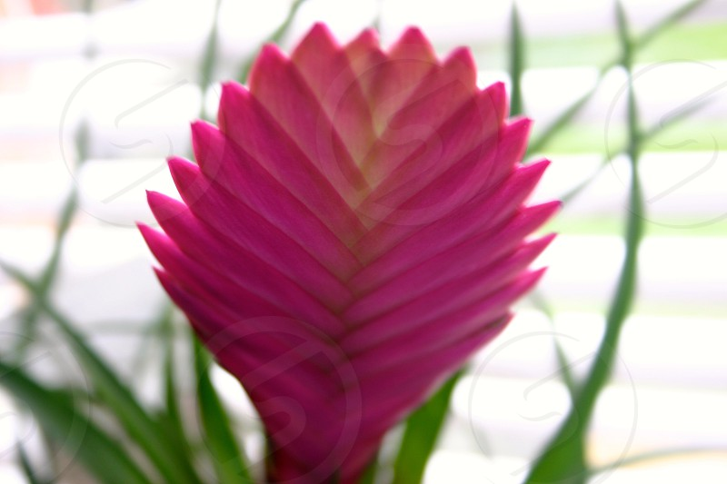 selective focus photography of pink quill bromeliad flower photo