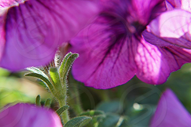 purple hibiscus flower with green leaves photo