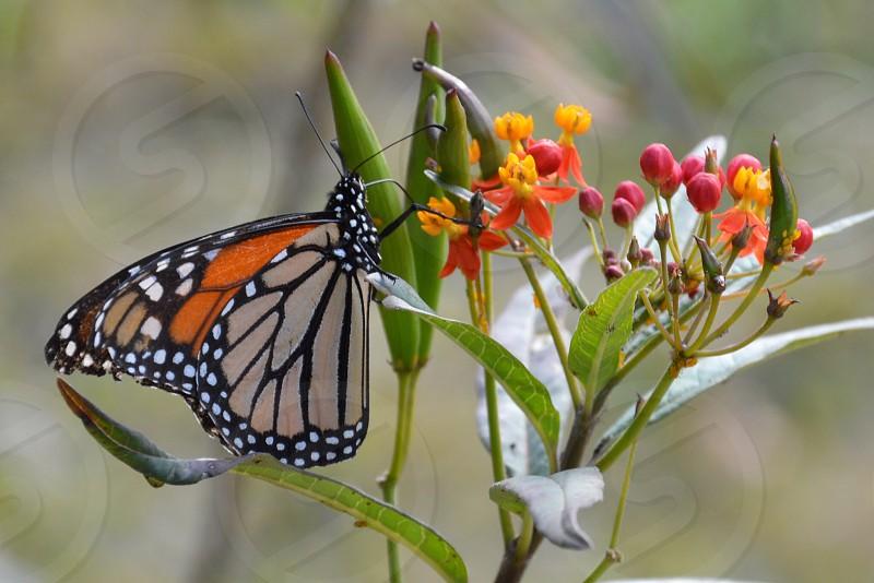 Backyard butterfly.  photo