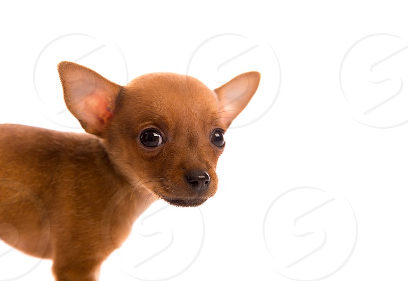 Chihuahua puppy pet dog doggy portrait on white background photo