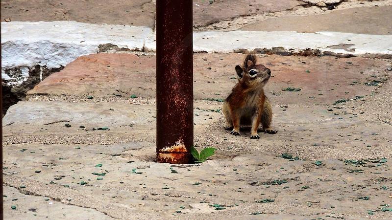 brown squirrel sitting photo