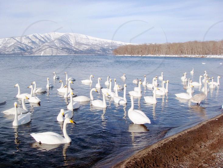 white swan on lake  photo