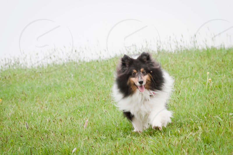 black and white long haired dog on grass photo photo