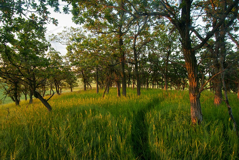 A path through the tall grass and locusts on a hill top in southern Manitoba Canada photo