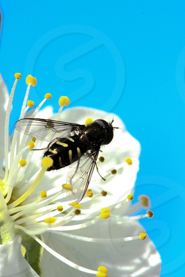 black bee photo