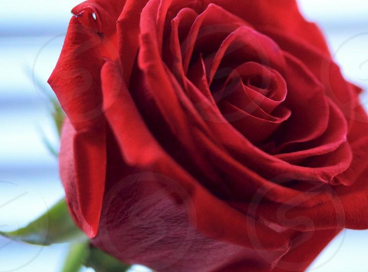 red rose macroshot photo