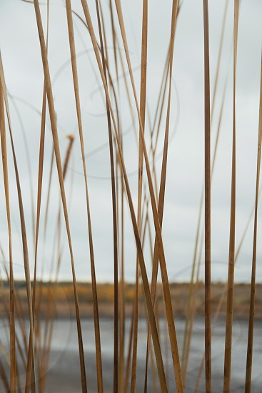 Cane near little lake. Forest at October Russia. photo