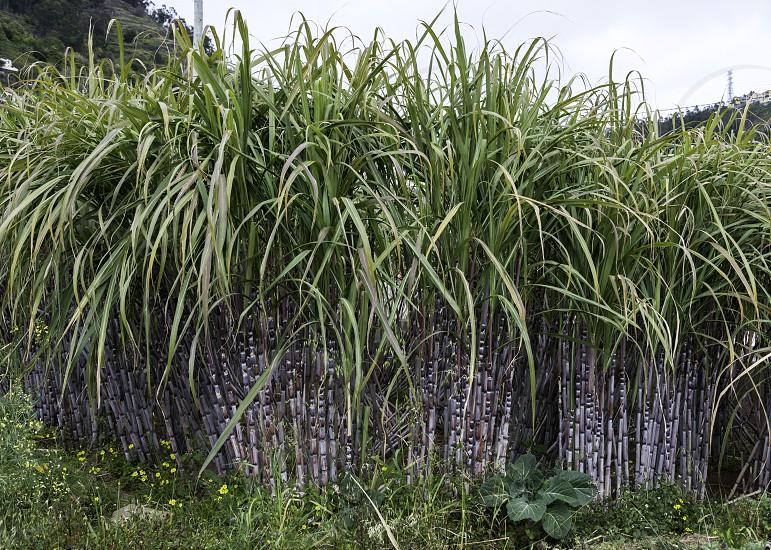 field with sugar cane on madeira island photo