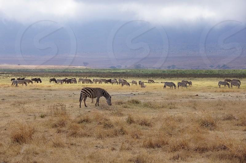 Zebra's on the plains photo