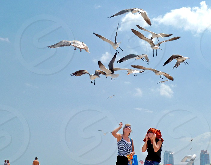A visitor to Miami Beach tosses a Cheeto to seagulls while her friend covers her head with a T-shirt. photo
