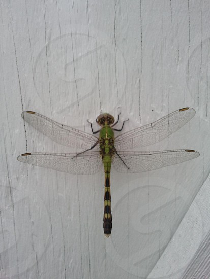 Green dragonfly photo