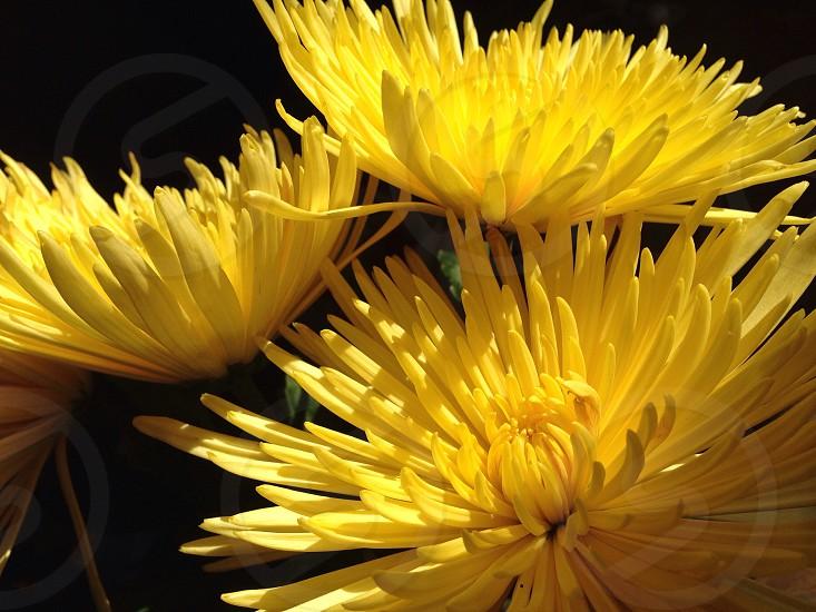 Flowers yellow spiky photo