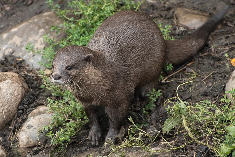 Young otter posing after feeding on fish photo
