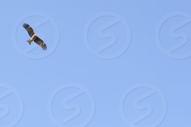 Black kite in Endoshima Japan photo