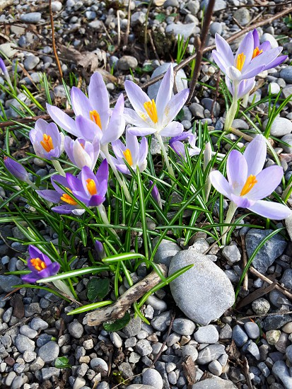 purple little Springflowers photo