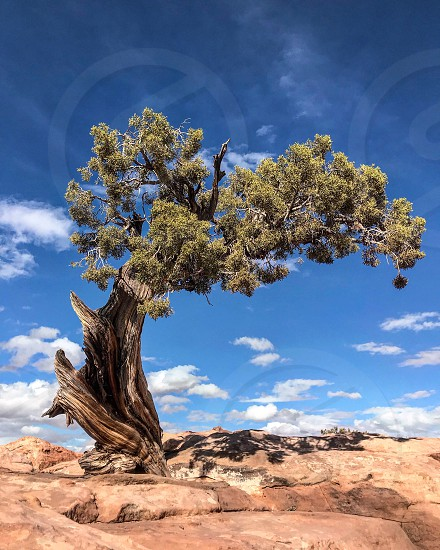 Gnarled Cedar in rocky landscape photo