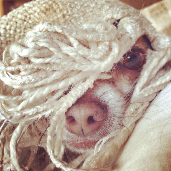 small chihuahua under white yarn photo