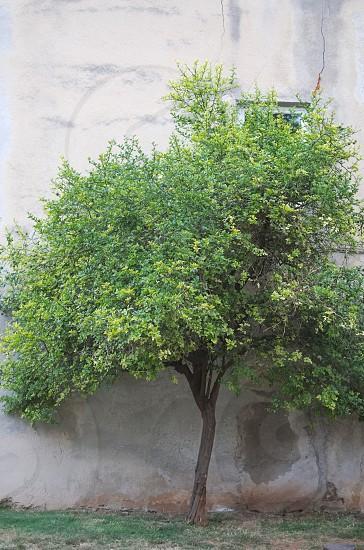 Lemon Tree Right next to the Old Grey Wall photo