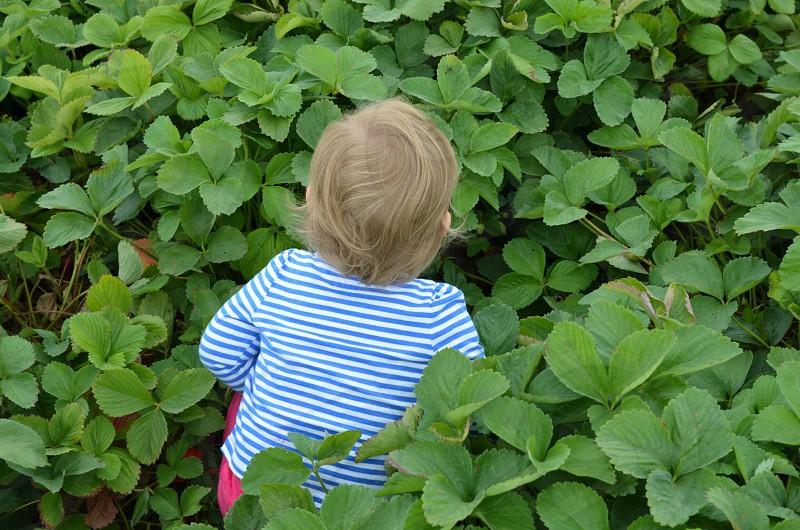 Strawberry patch childhood lifestyle  photo