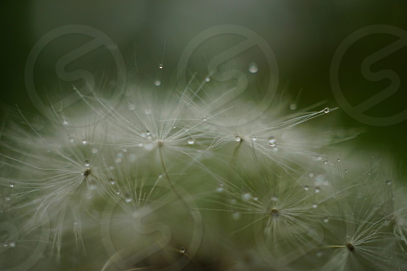 selective focus photography of dandelion flower photo